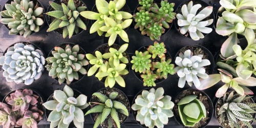 Best Succulents for Zodiac Signs